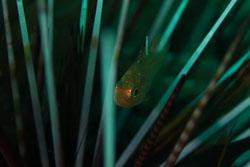 BD-161103-Alor-4539-Ostorhinchus-hoevenii-(Bleeker.-1854)-[Frostfin-cardinalfish].jpg